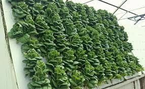 Coltivare-cibo-in-un-giardino-verticale?